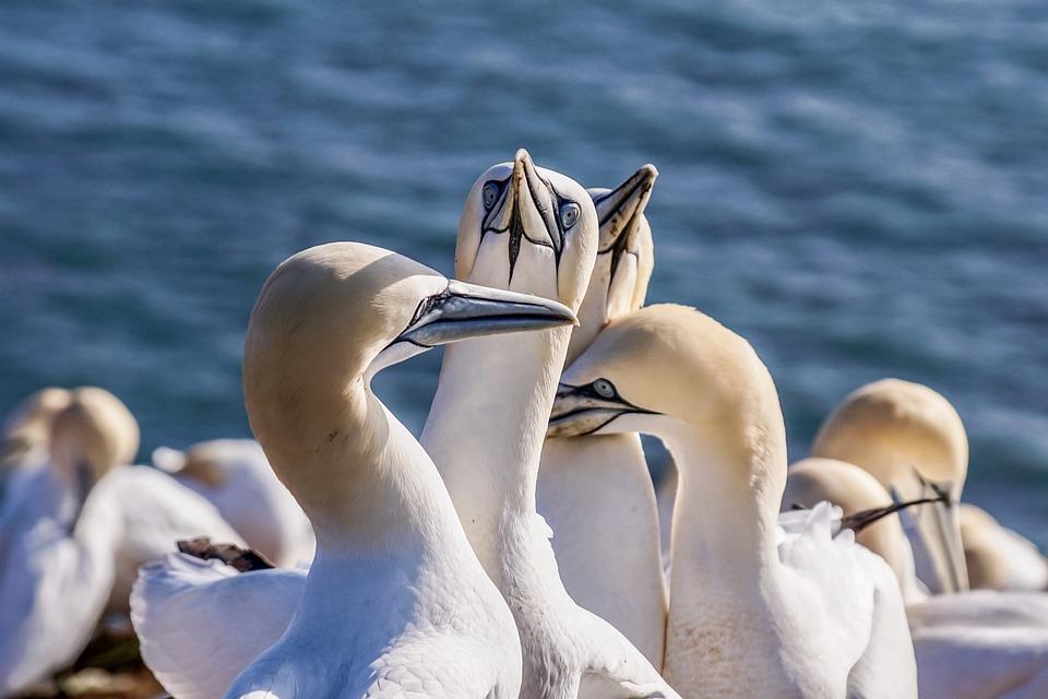Sea Bird, Northern Gannet, Birds