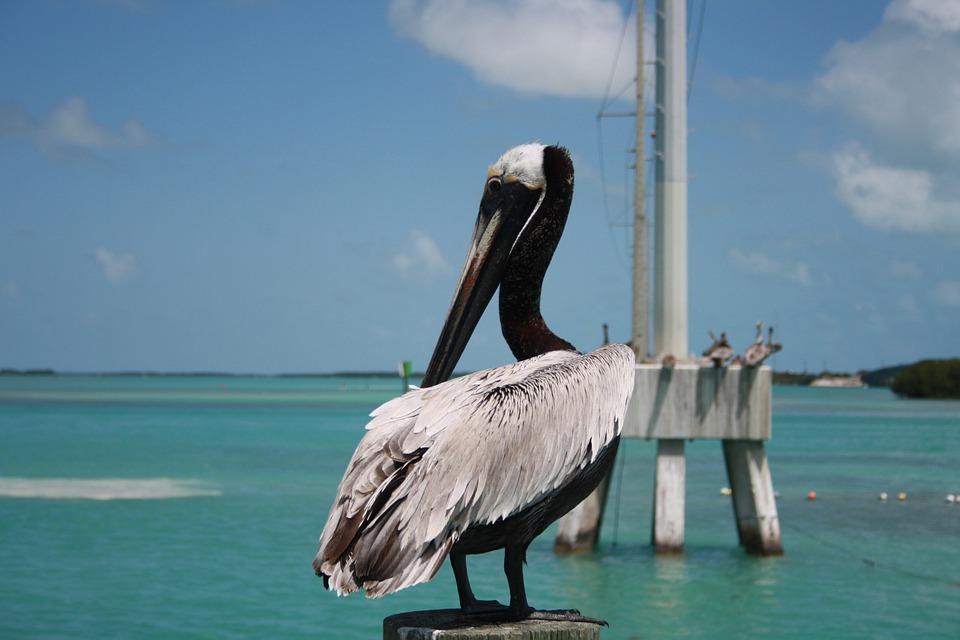 Florida, Key West, Pelican, Nature, Water, Sea Birds