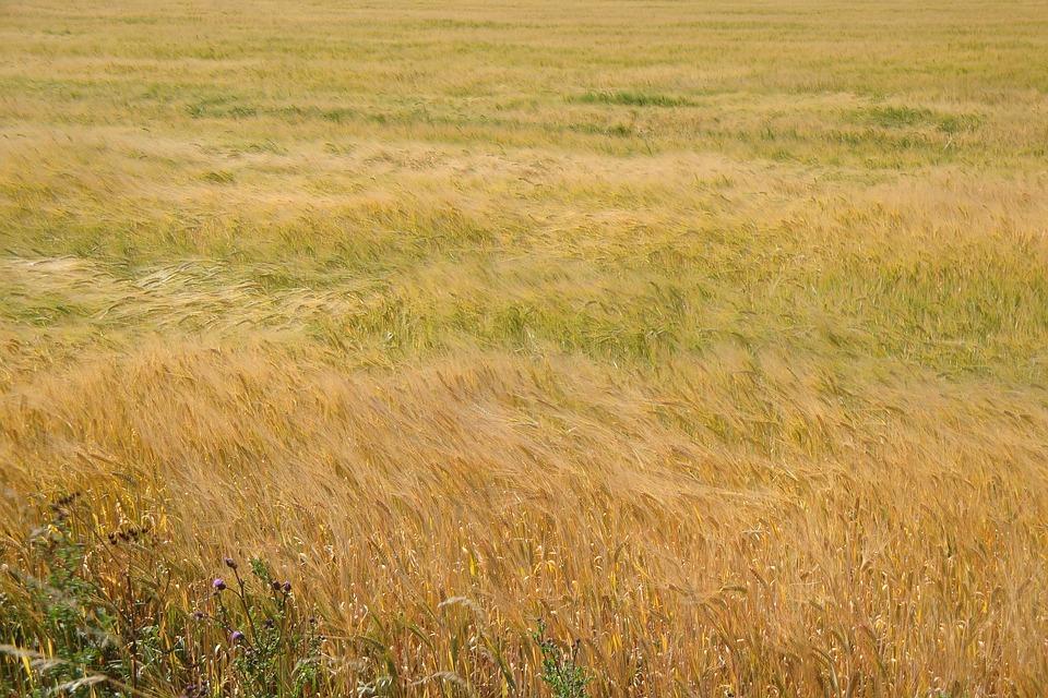 Field, Waves, Sea, Wave, Cereals, Barley, Eddy, Swing
