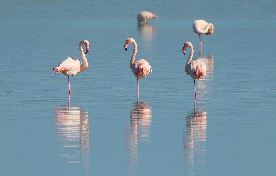 Flamingo, Birds, Plumage, Sea, Water, Animal, Exotic