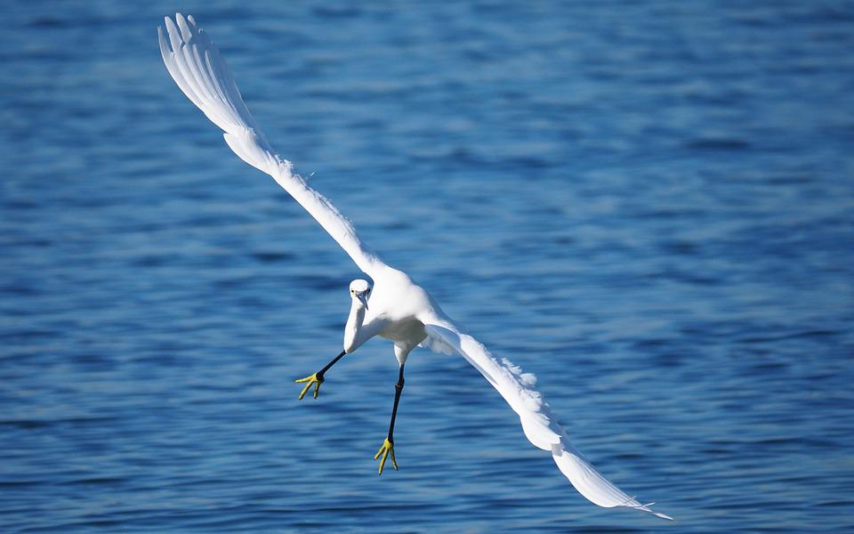 Animals, Birds, Flight, Egret, Sea