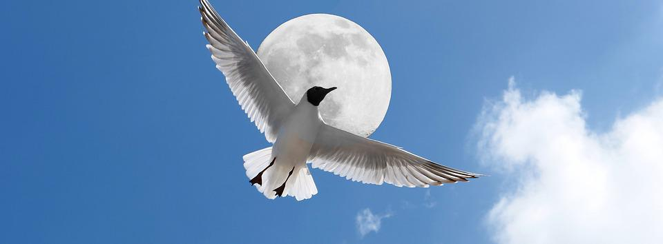 Gull, Poultry, Flying, Moon, Sea, White, Feather, Sky