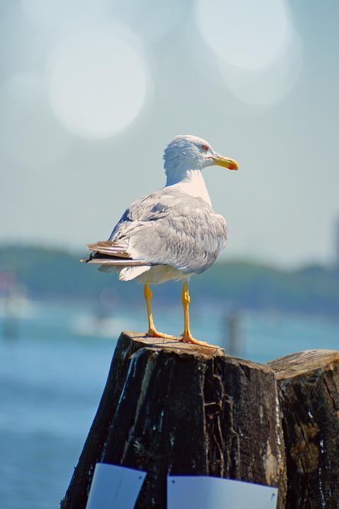 Seagull, Bird, Sea Bird, Sea Gull, Hunting, Sea, Water
