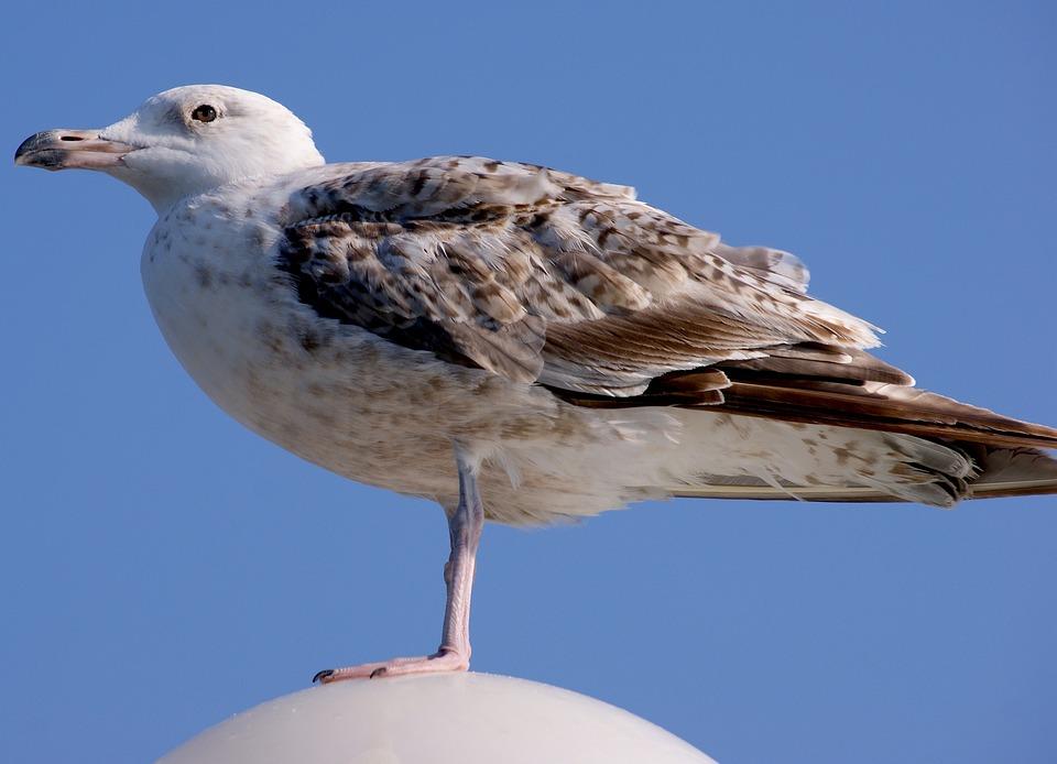 Gull, Young Animal, Sea, Nature, Sky, Beach, Water