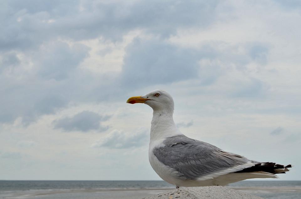 Seagull, Gulls, Close, Sea, Coast, Water Bird, Seevogel