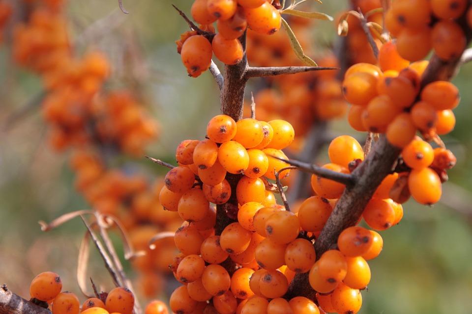 Buckthorn, Fruits, Healthy, Sea, Thistles, Vitamins