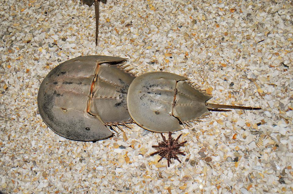 Horseshoe Crab, The Moluccas Crab, Sand, Sea, Crab