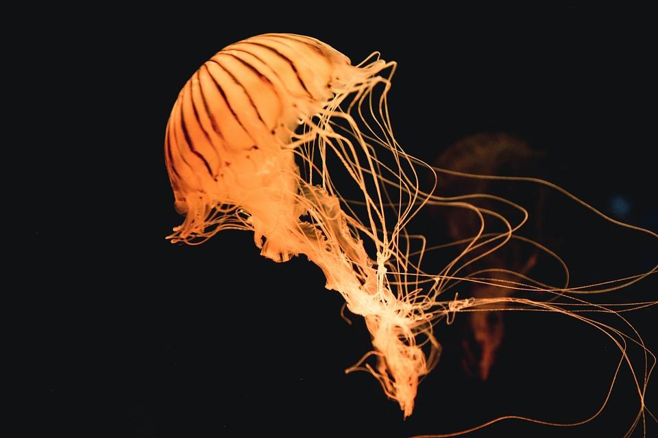 Animal, Jellyfish, Ocean, Sea, Underwater