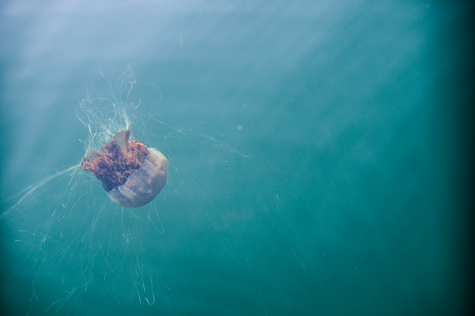Jellyfish, Sea, Sea Life, Scotland, Water, Underwater