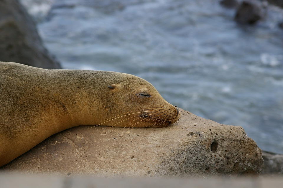 Nature, Galapagos, Sea Lion, Robbe, Waters, Ocean