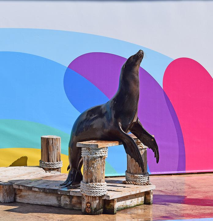 Sea Lion Show, Sea Lion, Aquatic, Animal, Aquatic Show