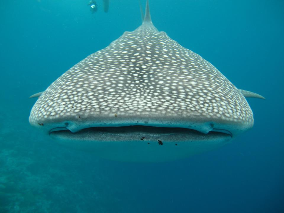 Whale Shark, Maldives, Sea