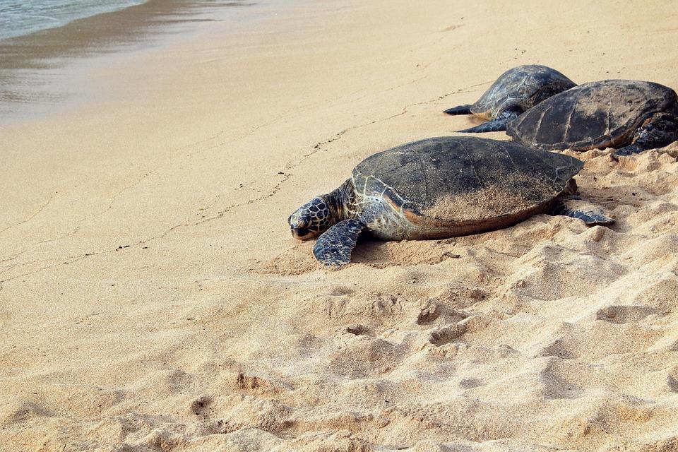 Animal, Beach, Nature, Sand, Sea, Sea Turtles, Seashore
