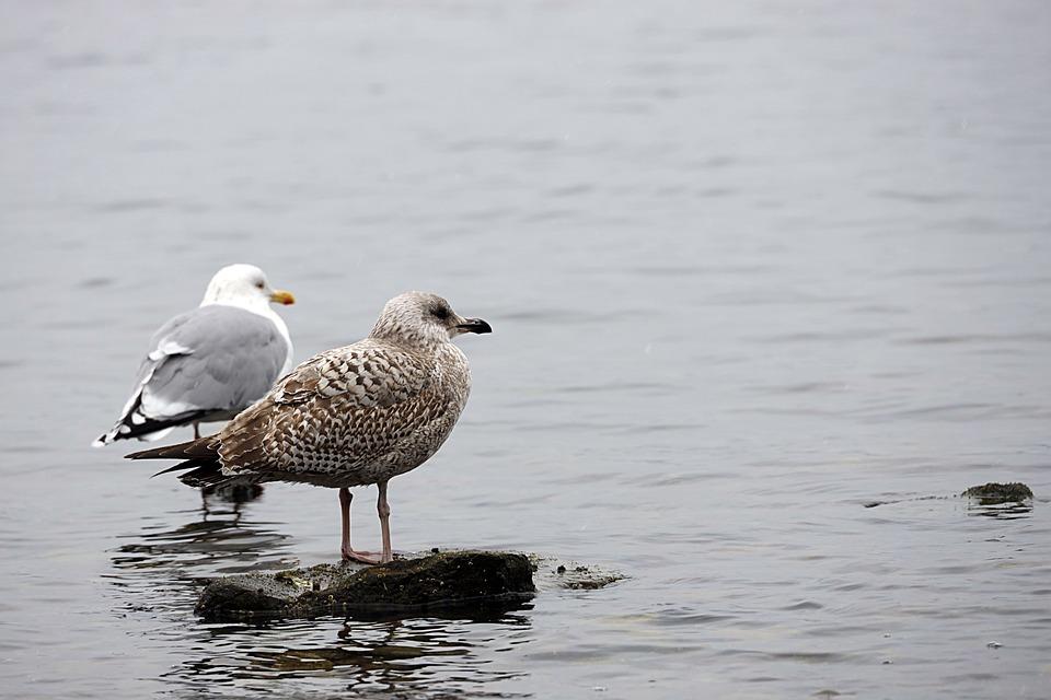 Seagull, Bird, Sea, Nature, Wildlife
