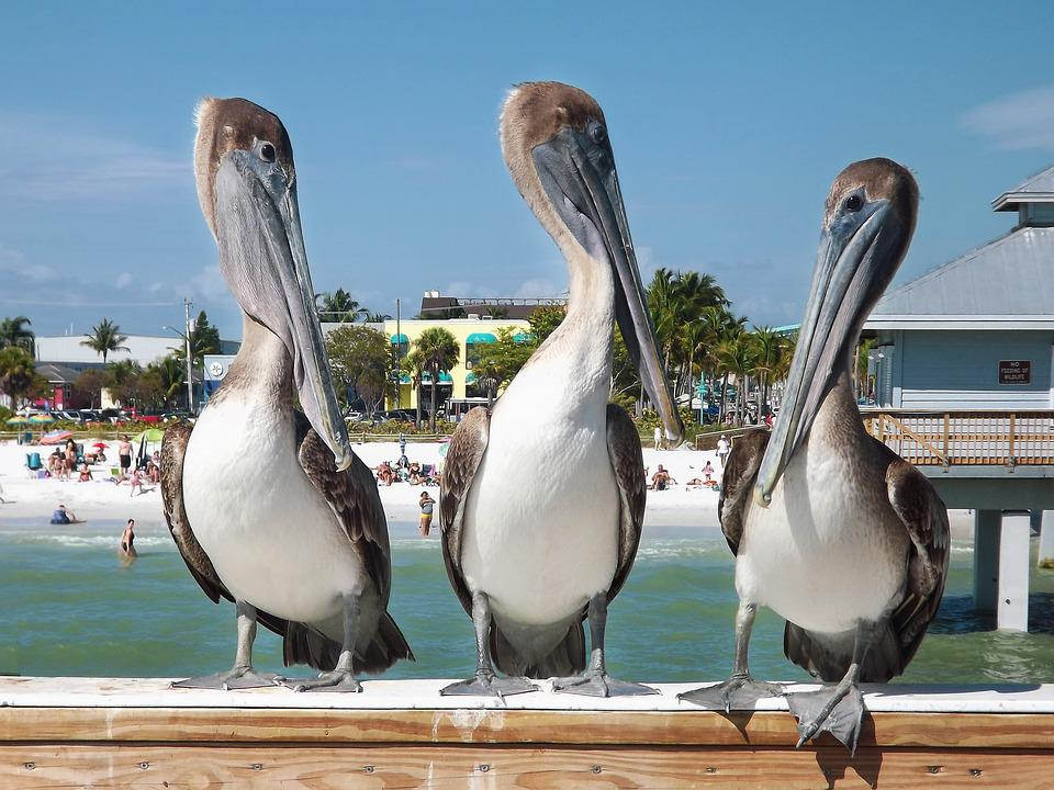 Pelicans, Birds, Nature, Wildlife, Water, Animal, Sea