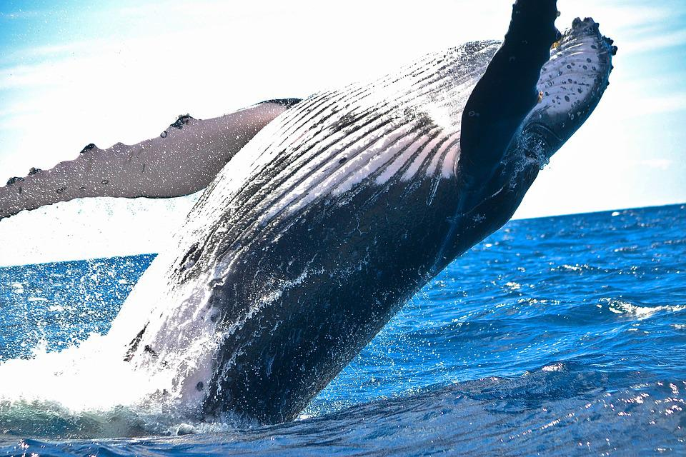 Animal, Nature, Ocean, Sea, Water, Whale