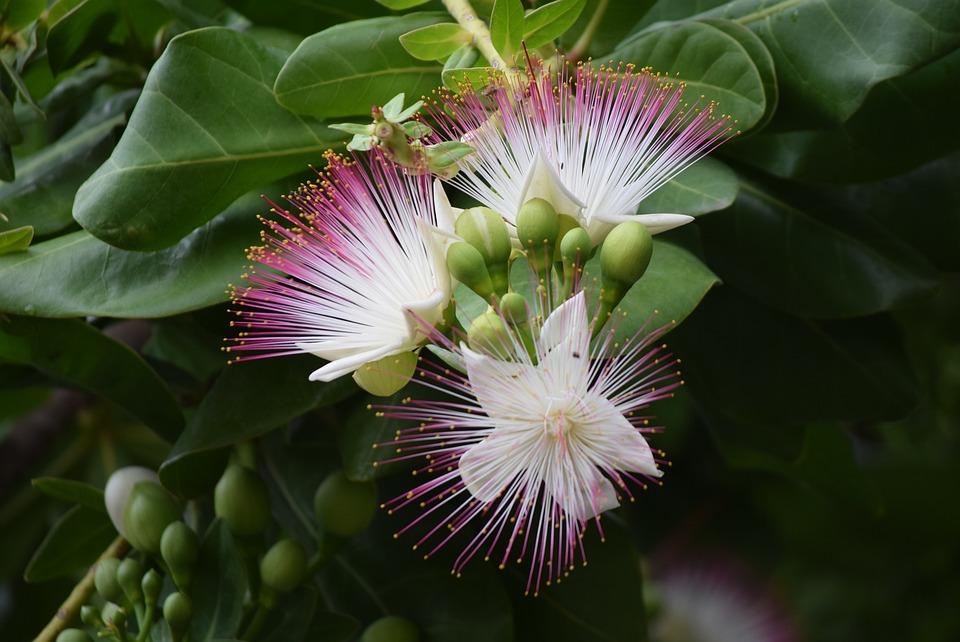 Sea Putat, Flower, Barringtonia Asiatica, Green Sea