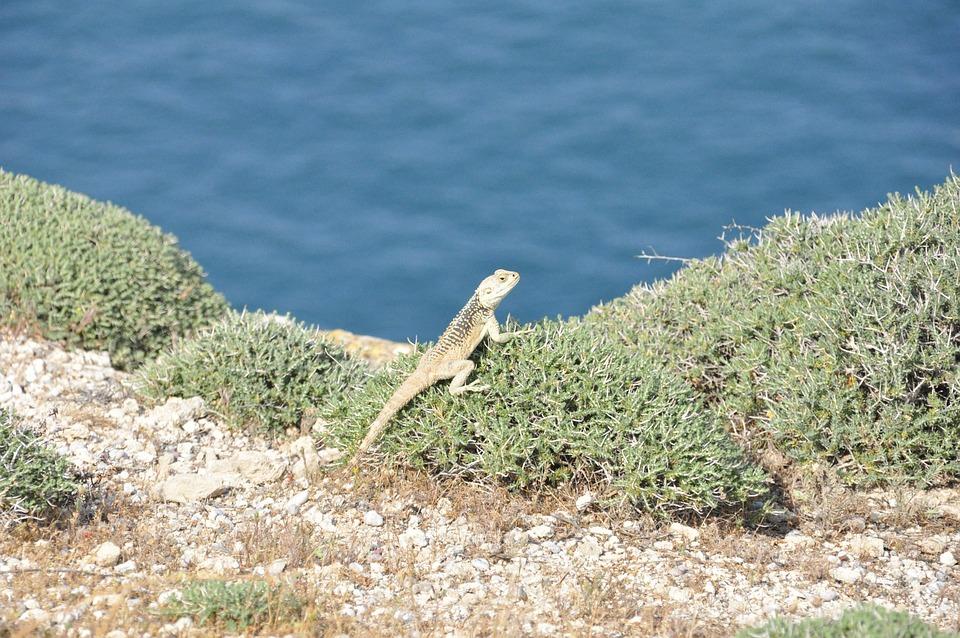 Sea, Island, Iguana, Reptile, Nature, Cyprus