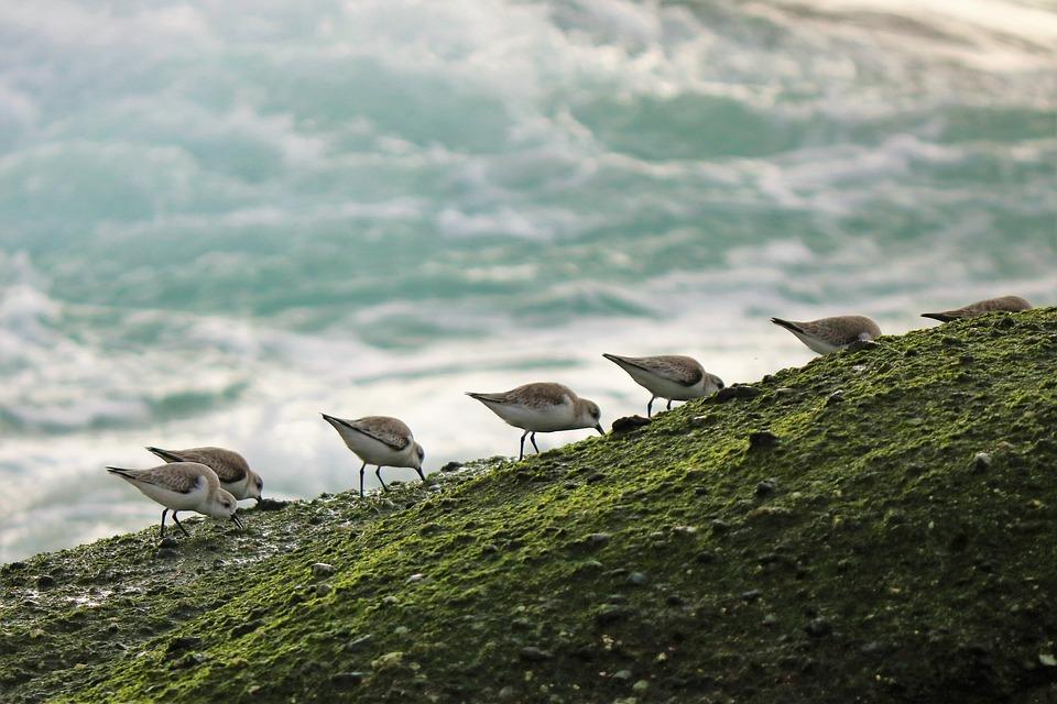 Sea Bird, Ocean, Sea, Beach, Bird, Sandpiper, Family