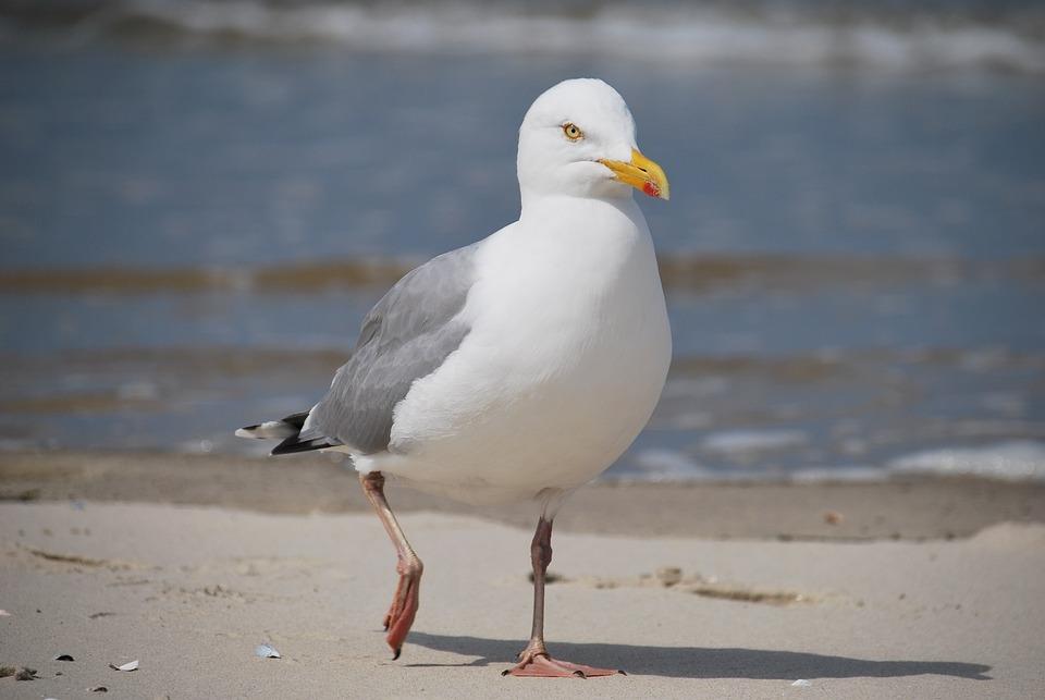 Seagull, Water, Sea, Birds, Nature