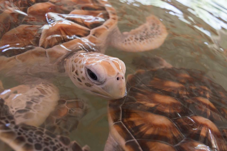 Turtle, Animals, Sea Turtle, Aquatic Animal