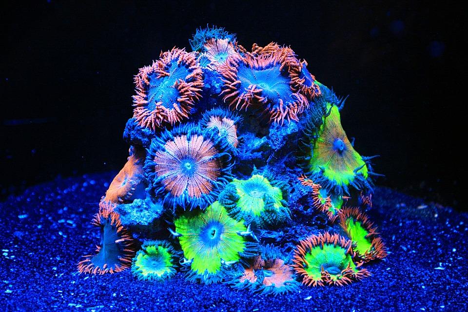Coral, Sea Water Aquarium, Aquarium, Soft Corals, Neon