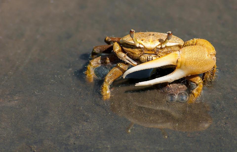 Crab, Crustacean, Sea, Ocean, Water, Beach, Close-up