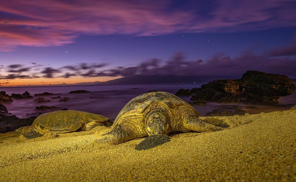 Turtles, Sunset, Turtle, Sea, Water, Ocean, Horizon