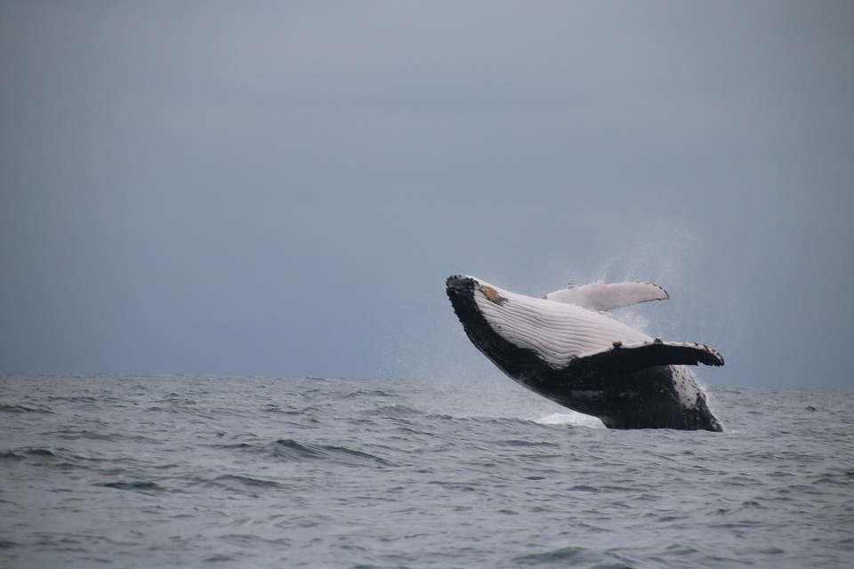 Whale, Jumping, Sea
