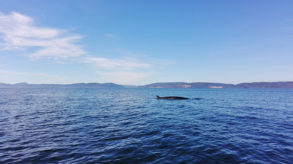 Canada, Whale, Water, River, Blue, Ocean, Sea