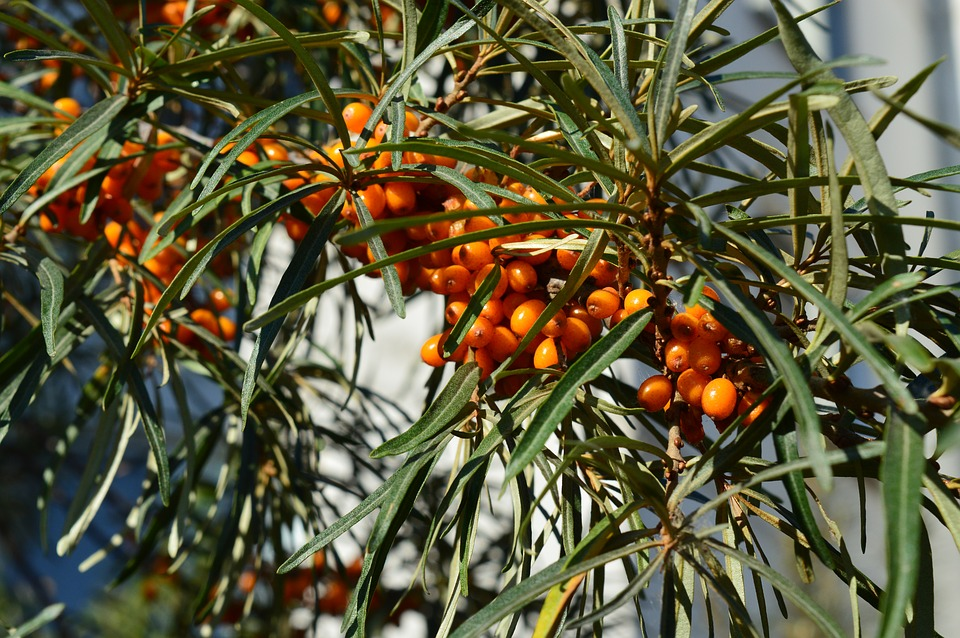 Sea-buckthorn, Shrub, Berry, A Lot, Closeup