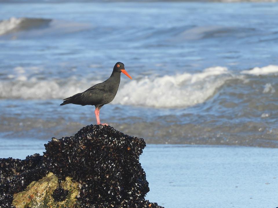 African Oystercatcher, Bird, Beach, Seabird