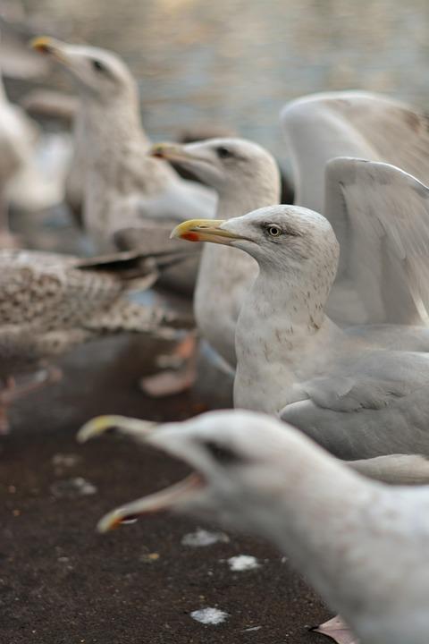 Seagull, Bird, Nature, Animal, Wings, Wildlife, Seabird