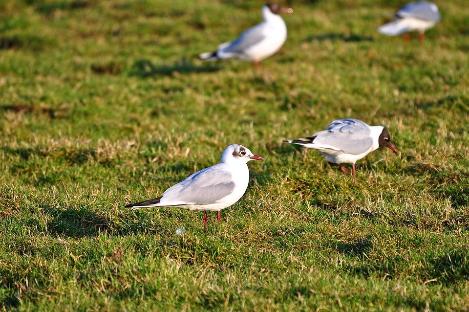 Seagull, Gull, Seabird, Animal, Wildlife, Standing