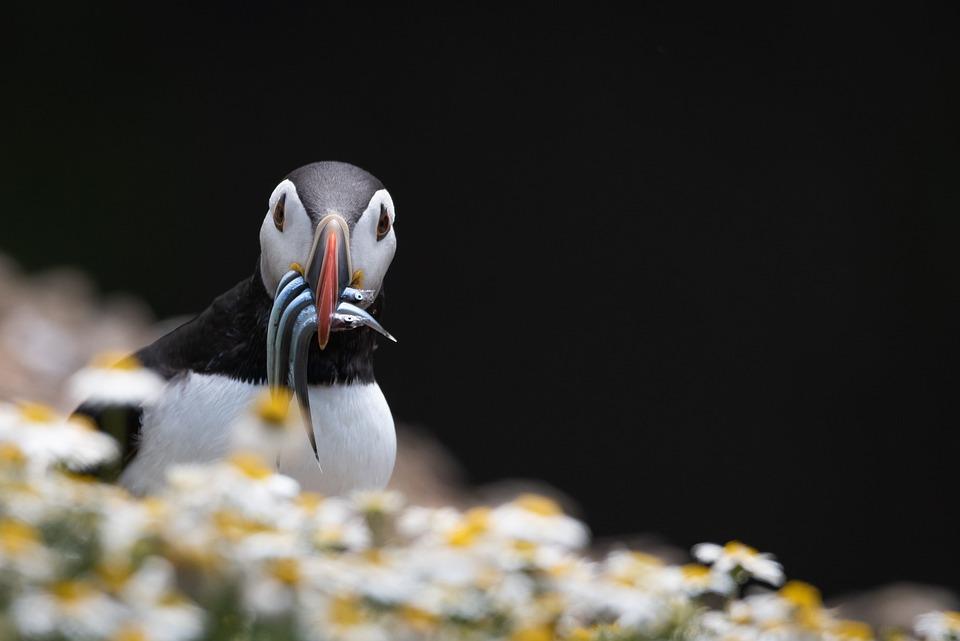 Puffins, Bird, Nature, Wildlife, Seabird, Eels, Feeding