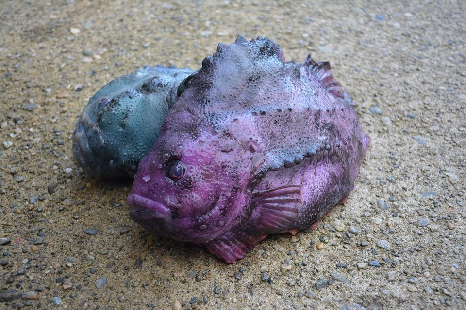 Fish, Lumpfish, Delicious, Seafood