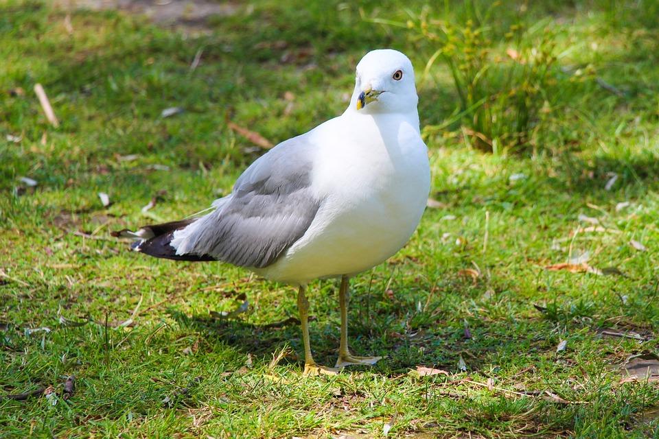 Gull, Bird, Seagull, Beak, Animal