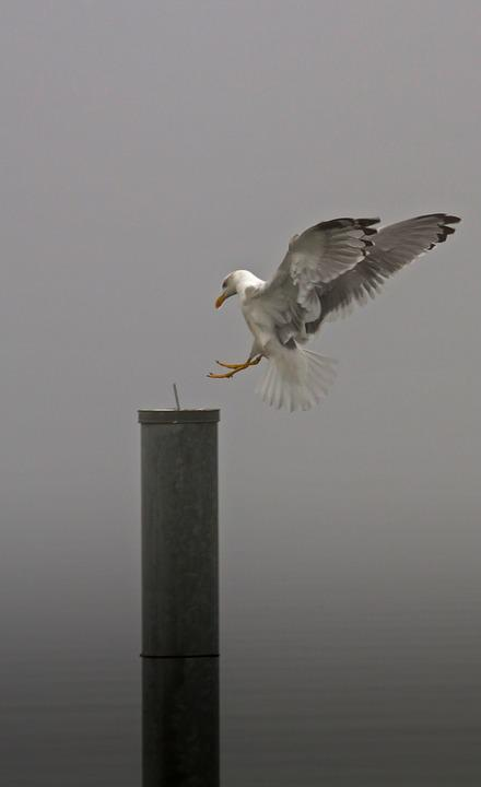 Seagull, Gull, Landing, Fog, Foggy, Autumn