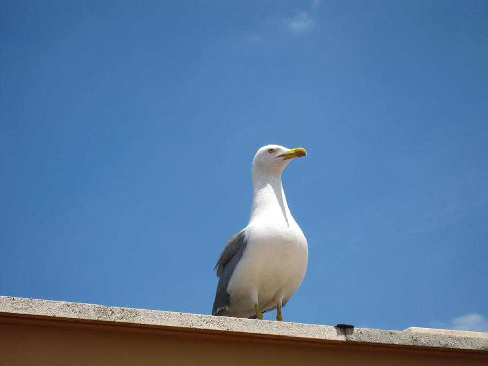 Seagull, Bird, Beak