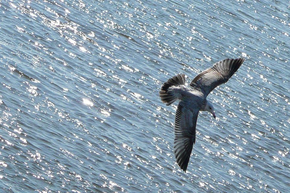 Flying, Seagull, Bird, Animal, Water, Ocean