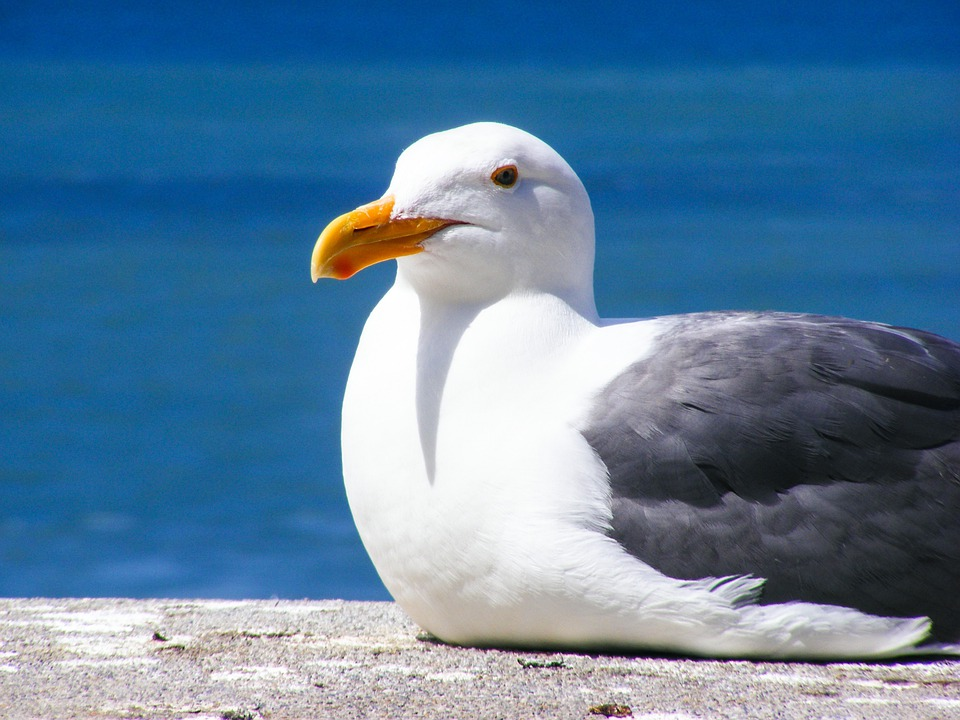 Seagull, Bird, Feather, Water, Ocean, Seagulls, Pacific
