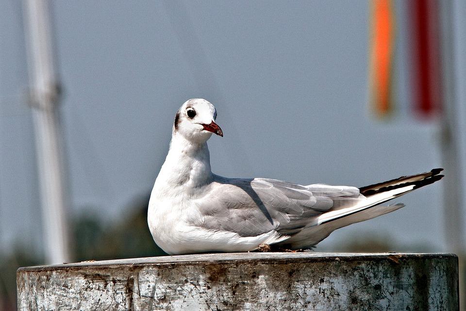 Gull, Bird, Sitting, Seagull