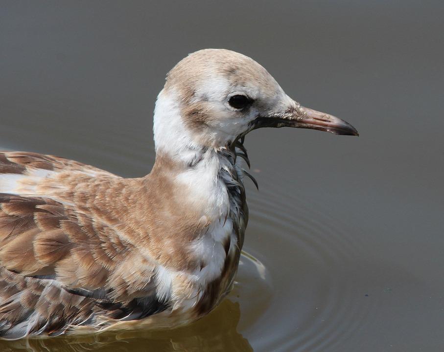 Black Headed Gull, Seagull, Chroicocephalus Ridibundus