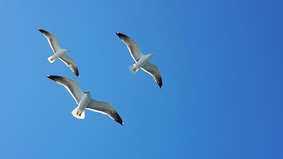 free photo seagull blue fly bird flight wildlife flying sky max pixel
