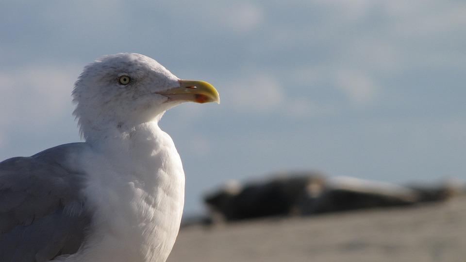 Seagull, Beach, Borkum, North Sea