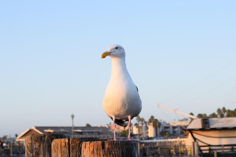 Redondo Beach, California, Seagull, Ocean, Redondo Pier