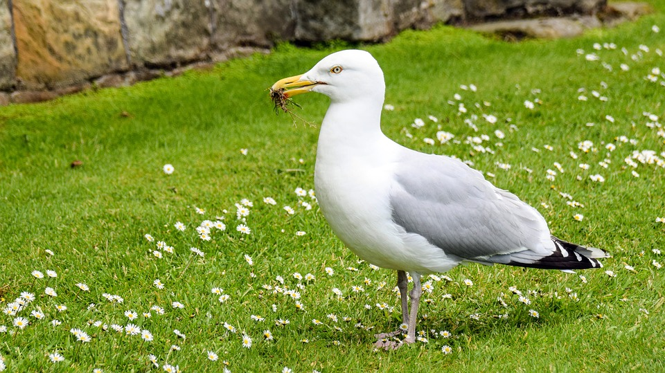 Scotland, St Andrews, Seagull, Sit, Meadow, Daisy, Eat