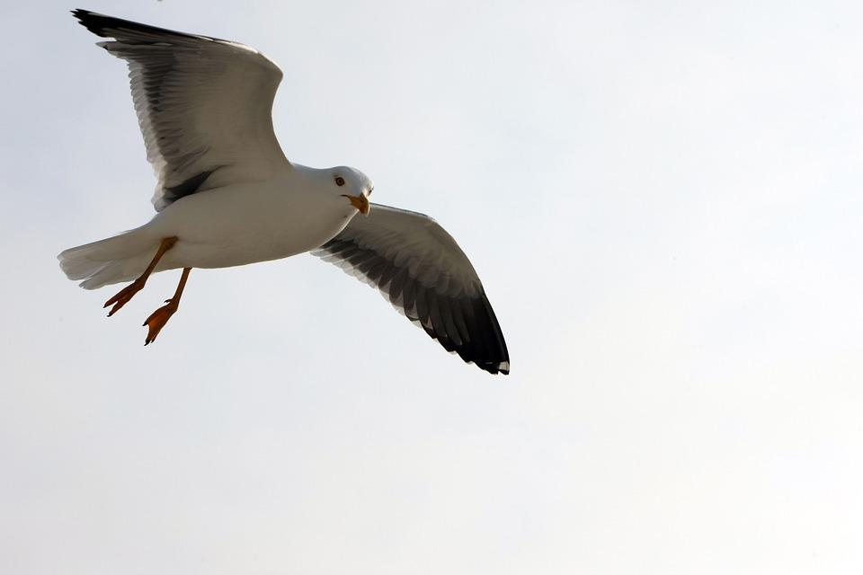 Seagull, Flight, Bird, Sky, Animal, Water Bird