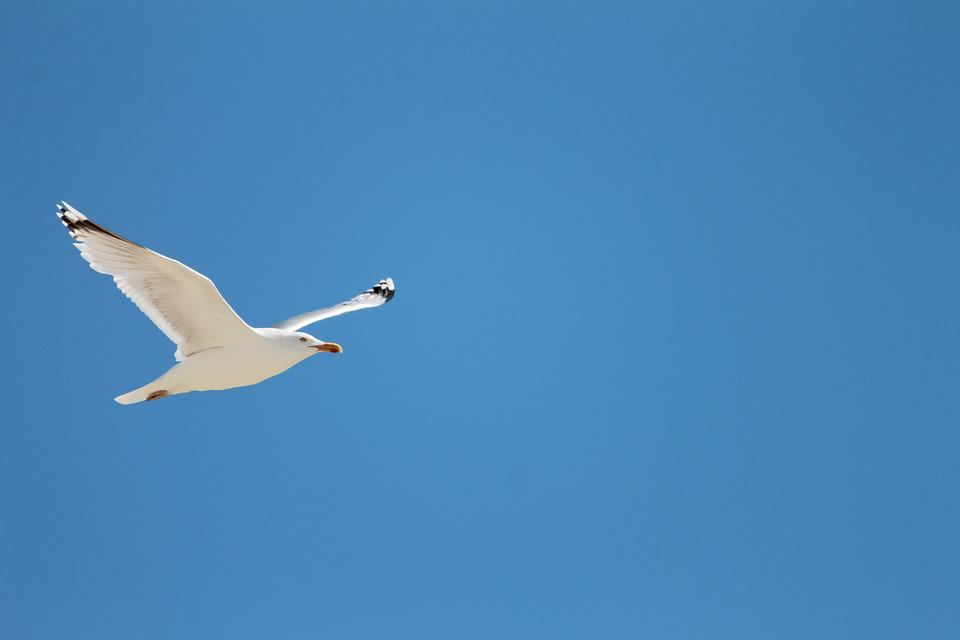 Seagull, Sea, Fly, Flight