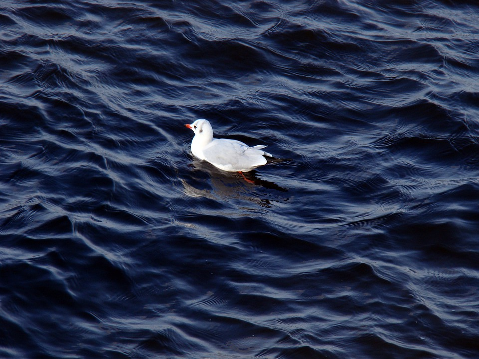Seagull, River, Wave, Sitting On The Water, Floats